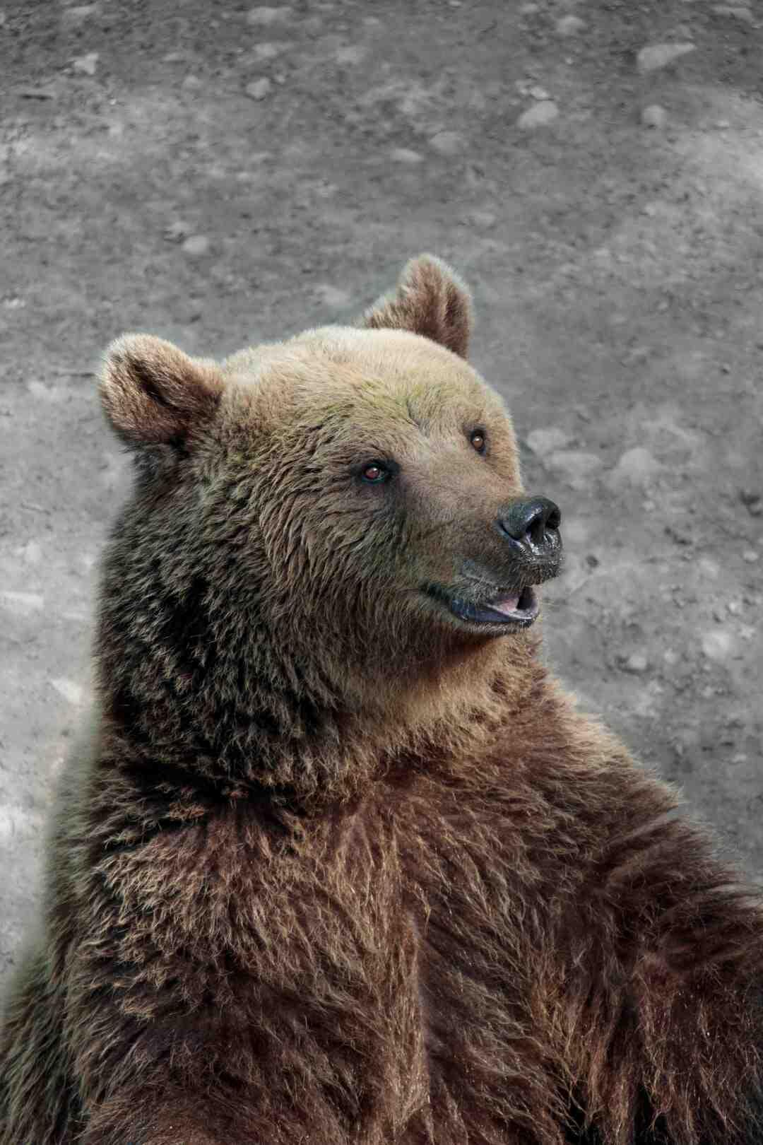 Comment échapper à un ours
